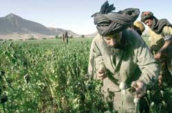 the cultivation of opium poppies in Afghanistan which is once again in full fledged resumption